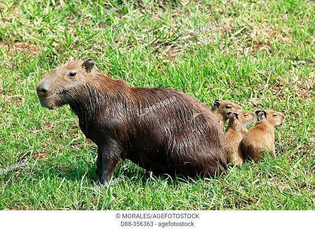Capybara (Hydrochoerus hydrochaeris). Venezuela