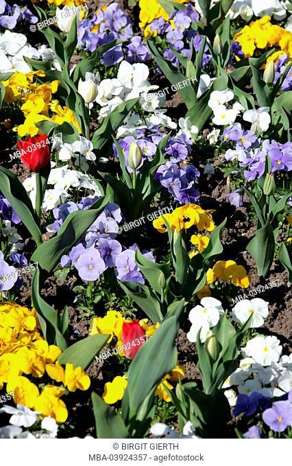 Flower bed, spring-flowers, tulips, pansies, nature, botany, garden, bed, garden-flowers, flowers, spring-messengers, spring-blower, bloom, yellow, purple, red