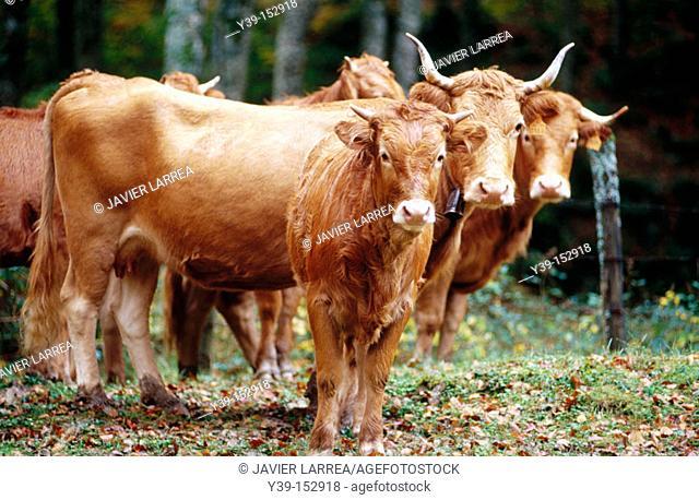 Cows, Sierra de Aralar. Navarra, Spain