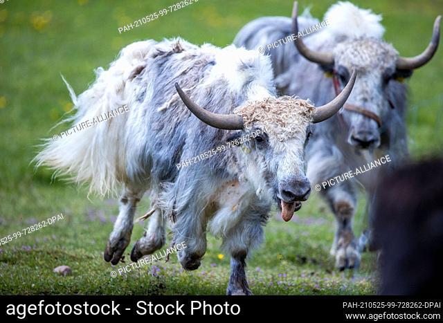 21 May 2021, Mecklenburg-Western Pomerania, Sternberg: Two yaks run through their outdoor enclosure at the Sternberger Burg camel farm