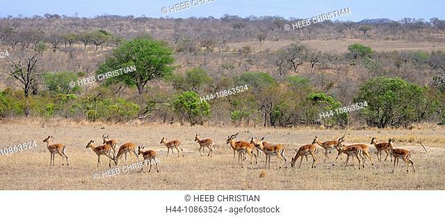 Panorama, Herd of Impala, Aepyceros melampus, Ulusaba Sir Richard Branson's Private Game Reserve, Sabi Sands Game Reserve, Mpumalanga, South Africa, impalas
