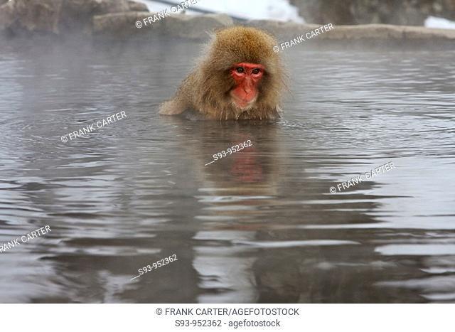 A snow monkey Japanese Macaque in the Jigokudani Yaen-Koen hot spring