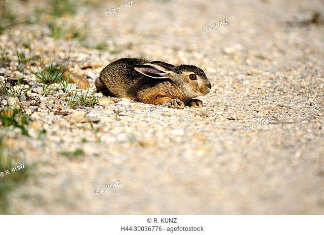 European Hare, Lepus europaeus, Leporidae, Hare, pub, ducking down, mammal, animal, Seewinkel, Burgenland, Austria
