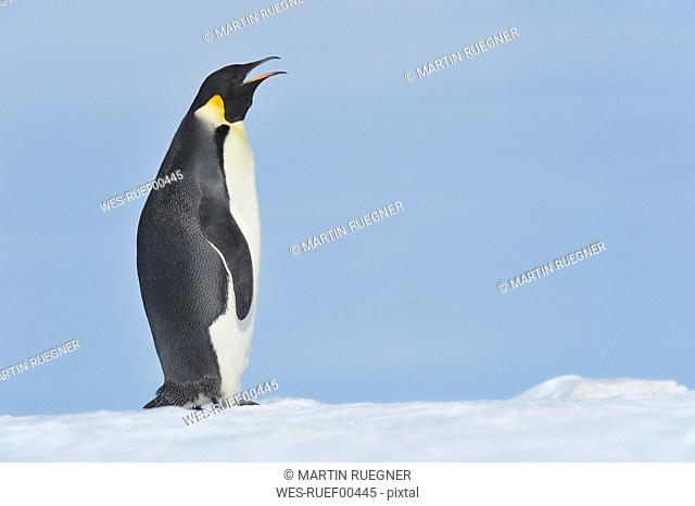 Antarctica, View of emperor penguin calling