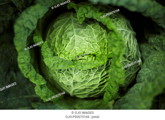 Close up of green Valmaine lettuce