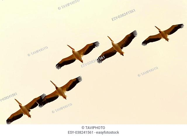 group of five pelicans flying in formation ( Pelecanus onocrotalus )