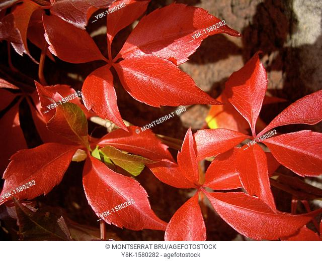 Vitis climber red leaves