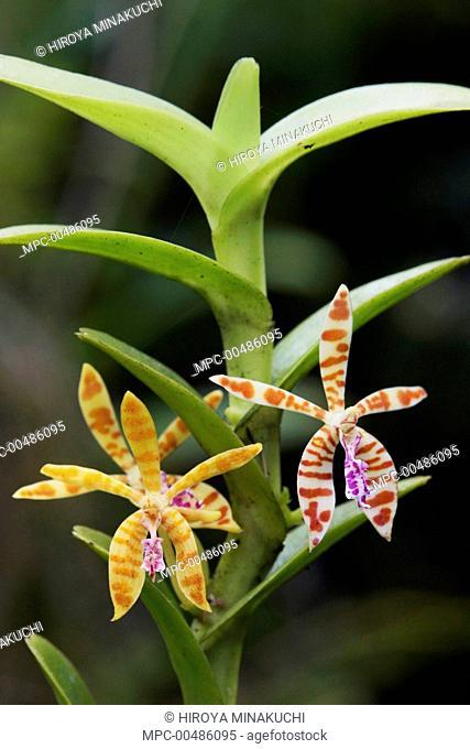 Orchid (Trichoglottis smithii) flowers, Malaysia