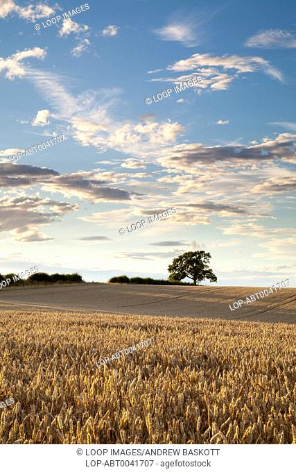 A field of golden ripened wheat bathed in warm evening sunshine