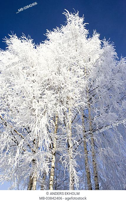 Birches, hoarfrost, winters, detail,    Nature, vegetation, botany, plants, trees, deciduous trees, tree group, Betula, branches, branches, bald, snow-covered