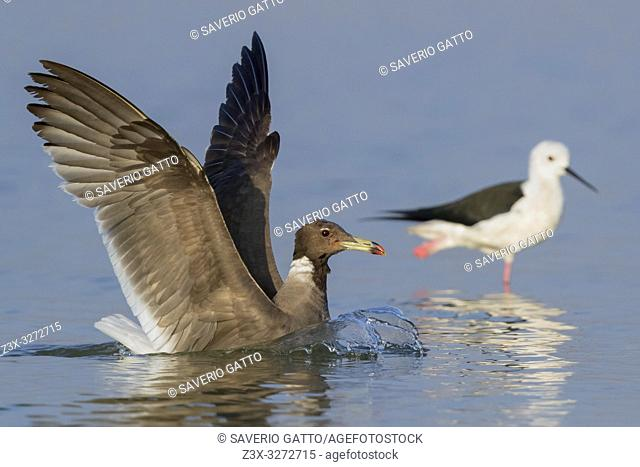 Sooty Gull (Ichthyaetus hemprichii), adult in winter plumage landing in the water