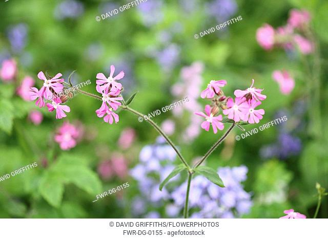 Campion, Red Campion, Silene dioica, Open flower heads against a light green background