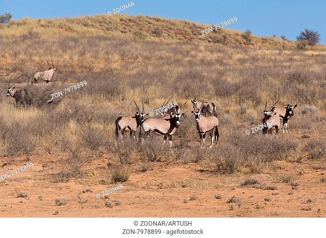 Gemsbok, Oryx gazella, dominant Gemsbok antelope in the park, Kgalagadi, South Africa
