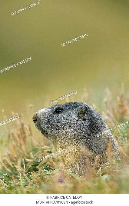 Head of a marmot at the entry of its burrow in the natural regional park of Queyras