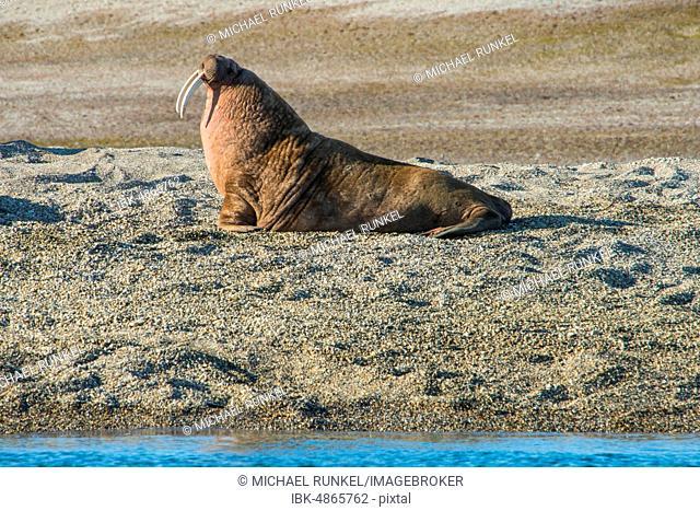 Walrus (Odobenus rosmarus), lies on gravel bank, Torellneset, Arctic, Svalbard
