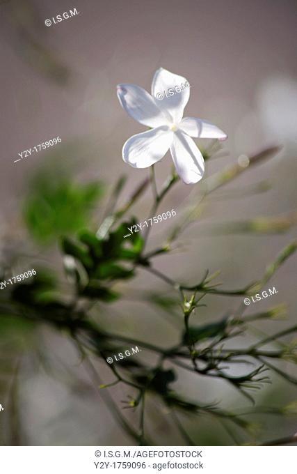 Jazmin flower