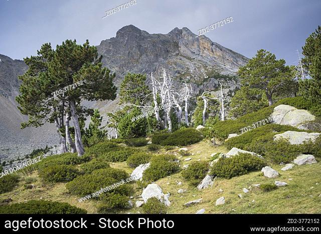 Mountain pine (Pinus uncinata) with Gra de Fajol peak in the background. Capçaleres del Ter i del Freser Natural Park. Catalonia. Spain
