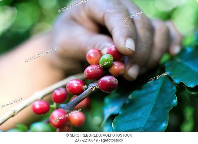 Atiu Island. Cook Island. Polynesia. South Pacific Ocean. Some of the coffee beans grown in the Atiu Coffee Factory in Atiu Island