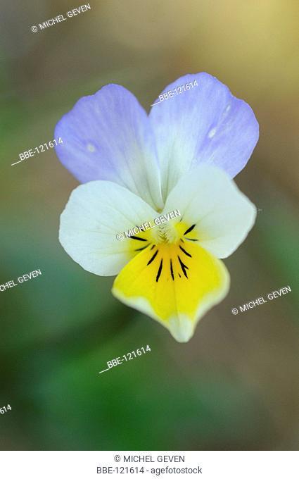 Flowering Field Pansy hibrid with Heartsease