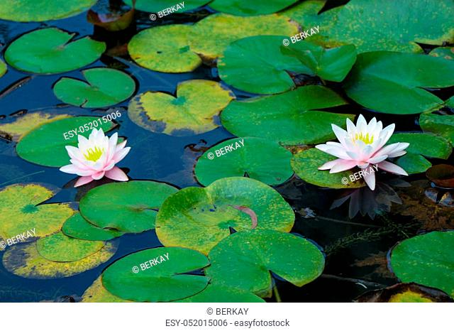Beautiful fresh Nymphaea lotus flowers in nature background