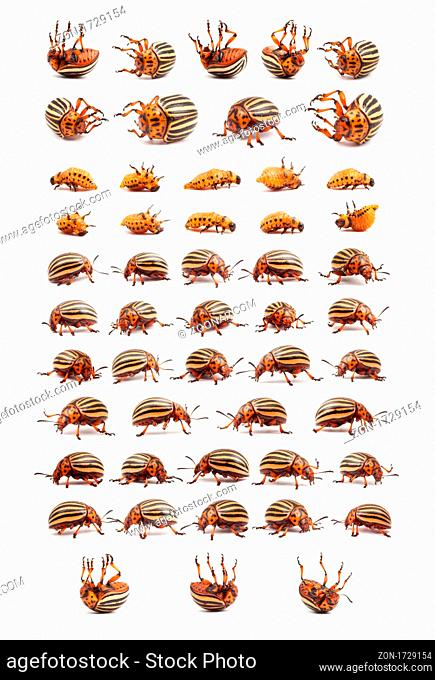 Live and dead a colorado potato beetles