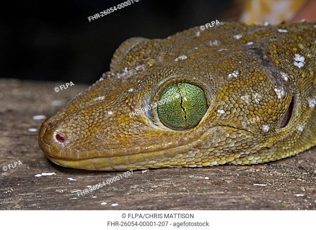 Green-eyed Gecko Gekko smithi adult, close-up of head, Danum Valley, Sabah, Borneo, Malaysia