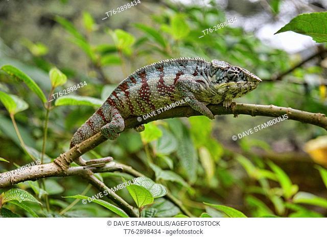Colourful Panther chameleon (Furcifer pardalis), Île Sainte-Marie, Madagascar