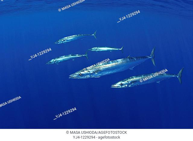 schooling wahoo, Pacific kingfish, or ono in Hawaiian, Acanthocybium solandri, free-swimming near FAD fish aggregation device, Kona Coast, Big Island, Hawaii