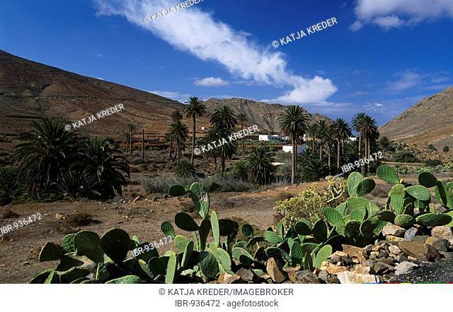 Palm tree oasis Vega Rio Palmas, Fuerteventura, Canary Islands, Spain, Europe