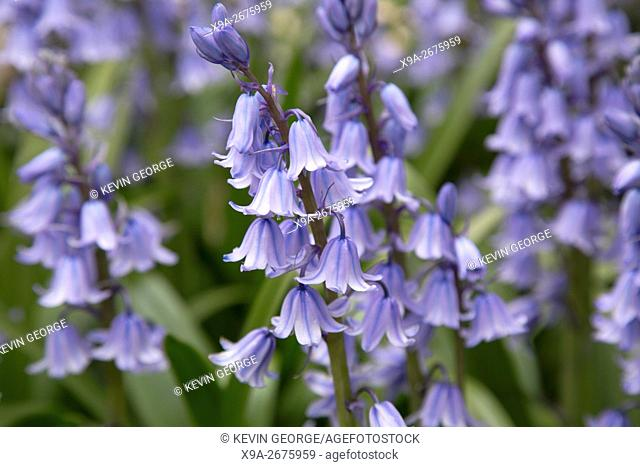 Detail on Bluebells in English Park