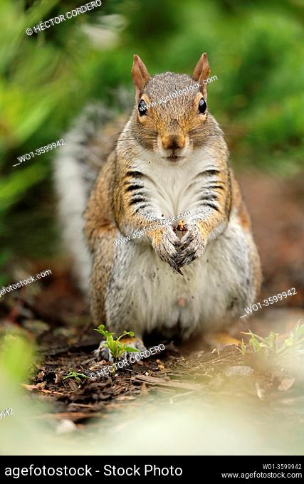 Close up of an Eastern gray squirrel (Sciurus carolinensis) feeding on the ground of a forest in the United States, North America
