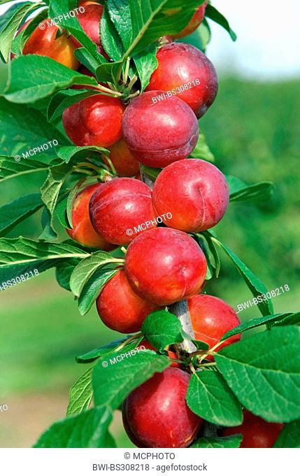 European plum (Prunus domestica 'Emma', Prunus domestica Emma), cultivar Emma