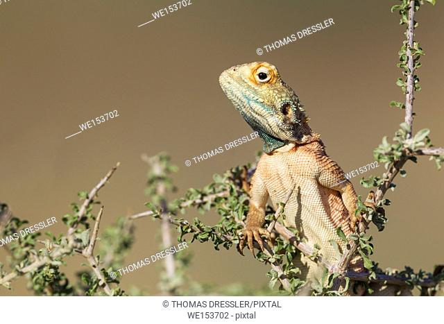 Ground Agama (Agama aculeata). Breeding males develop the blue throat and sides of the head and like to display on low scrubs