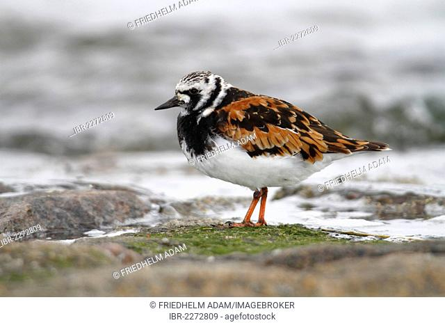 Ruddy turnstone (Arenaria interpres), with breeding plumage, standing on a rock overgrown with moss on the beach, Neuwerk island near Cuxhaven