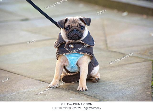Domestic Dog, Pug, eight-months old female, on lead and wearing vest and jacket, sitting on pavement, Lytham St Annes, Lancashire, England, january