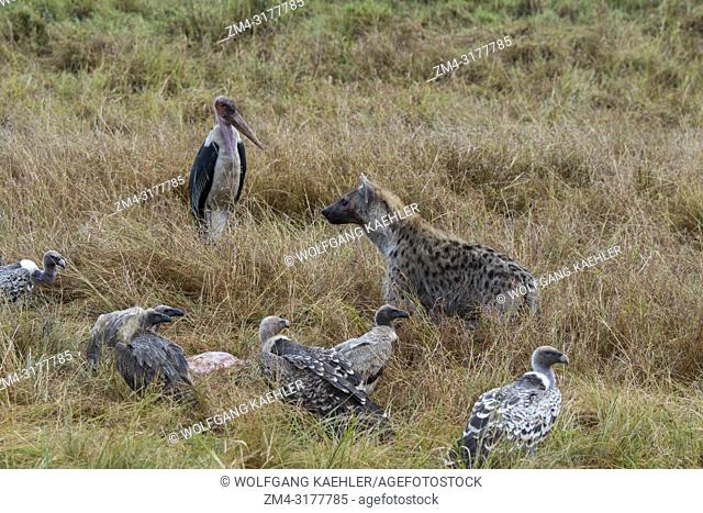 Vultures and a marabou stork (Leptoptilos crumenifer) feeding on a dead wildebeest killed by a spotted hyena (Crocuta crocuta) in the Masai Mara National...