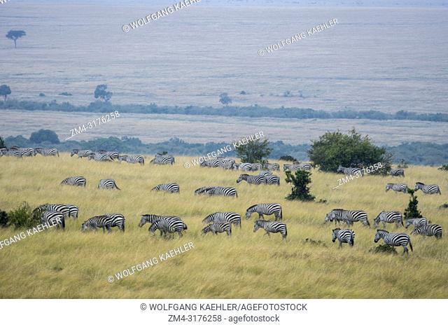 Plains zebras (Equus quagga, formerly Equus burchellii) also known as the common zebra or Burchell's zebra walking through the grassland in the Masai Mara...
