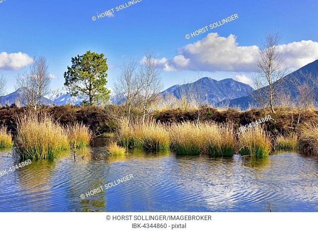 Moor pond, Grundbeckenmoor with bulrushes (Schoenoplectus lacustris), Bavarian Alps in the background, near Raubling, Alpine foothills, Bavaria, Germany, Europe