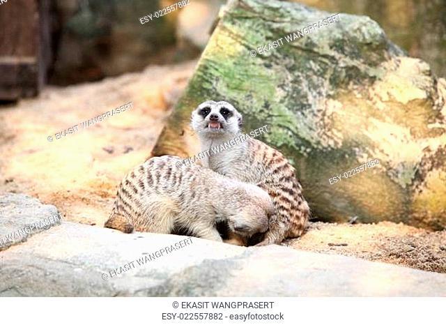 Meerkat in a Dusit Zoo, Bangkok Thailand