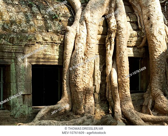 Cambodia - The roots of a Kapok tree (Ceiba petandra) invade a gallery at the Ta Prohm temple in Angkor, supporting the monument and destroying it at the same...
