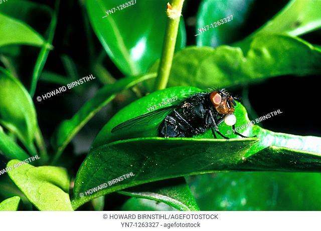 Blowfly regurgitating food