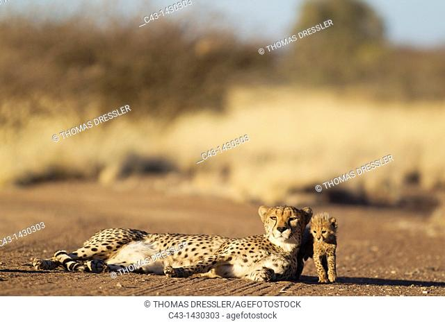 Cheetah Acinonyx jubatus - Resting female with its 39 days old male cub on a dirt road  Photographed in captivity on a farm  Namibia