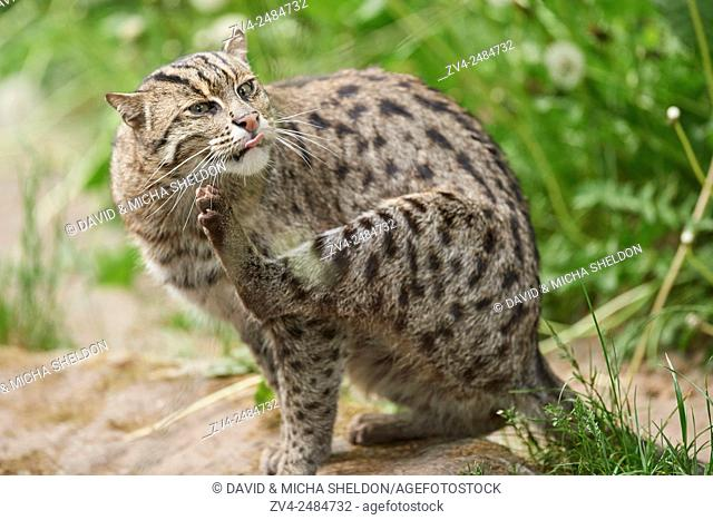 Close-up of a fishing cat (Prionailurus viverrinus) in spring. Bavaria, Germany