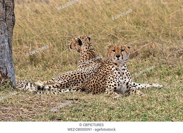 Afriaca, Kenya, Cheetahs lying in Maasai Mara National Park