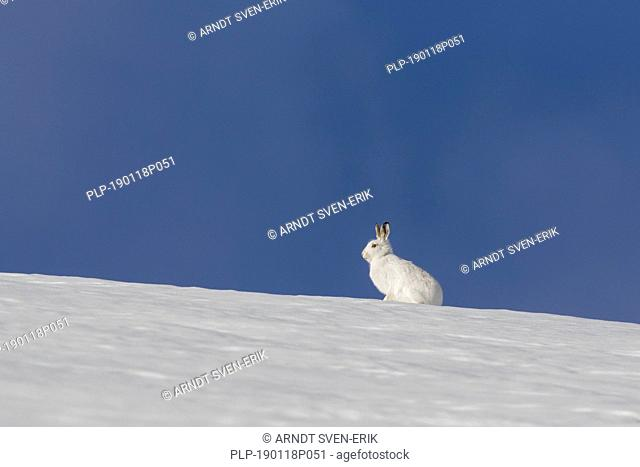 Mountain hare / Alpine hare / snow hare (Lepus timidus) in white winter pelage sitting in the snow, Cairngorms National Park, Scotland, UK
