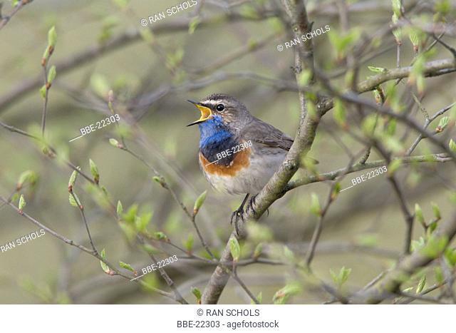 Male Bluethroat singing from bush with fresh leafs in spring