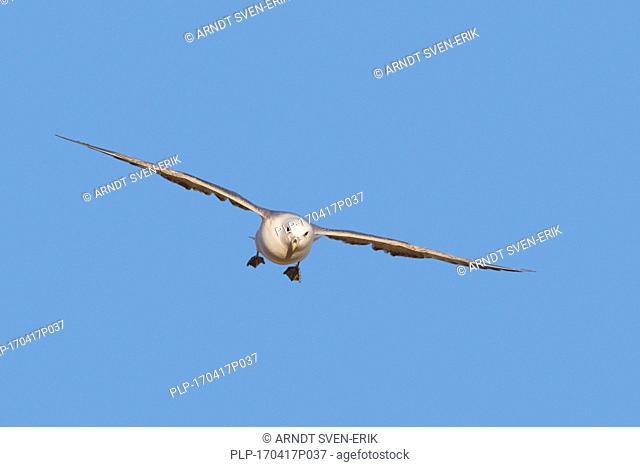 Northern fulmar / Arctic fulmar (Fulmarus glacialis) soaring against blue sky