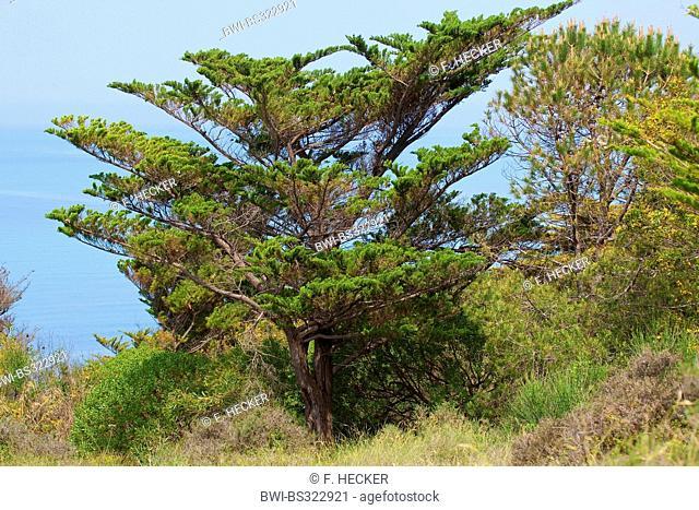 Italian cypress (Cupressus sempervirens), in maquis, Italy