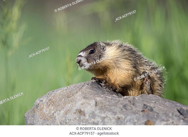 Yellow-bellied marmot (Marmota flaviventris), scratching, near Tunkwa Lake, British Columbia