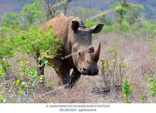 White rhinoceros or Square-lipped rhinoceros (Ceratotherium simum), standing, attentive, Kruger National Park, South Africa, Africa